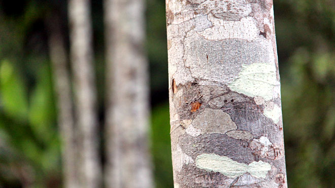 The close-up of the trunk of a living mahogany tree, with others in the background